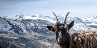 Zermatt has a mascot – Wolli